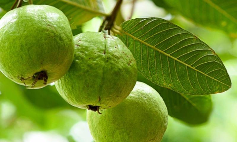 Guava Leaves3 LB
